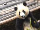 [视频]熊猫频道视频在美播出受关注