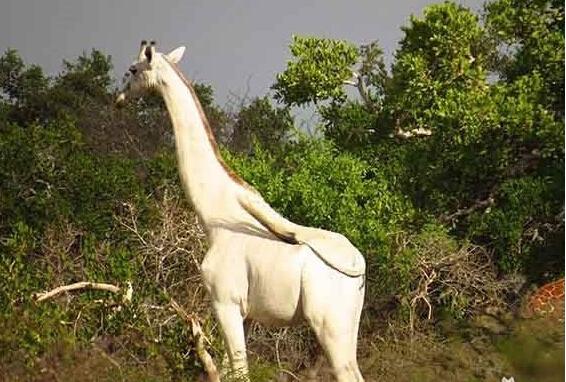[视频]非洲现罕见白色长颈鹿 仙气十足