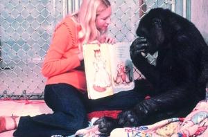 [视频]大猩猩与训练员相处40年 会说人话还能看杂志