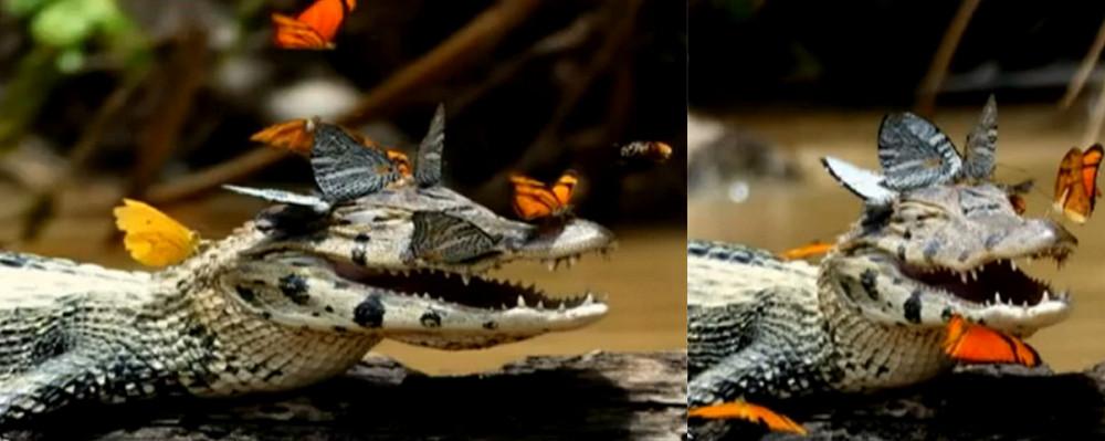 [视频]鳄鱼脑袋变鲜花招蜂引蝶 张嘴微笑心情愉悦