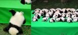 """[视频]成都23只大熊猫幼仔集体上演""""熊猫瘫"""""""