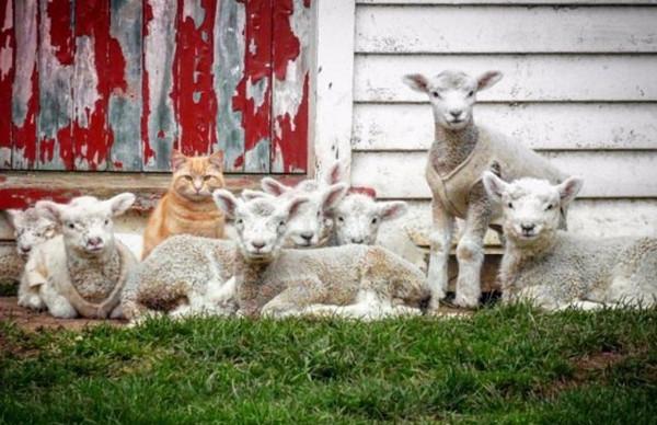 """[视频]新西兰""""牧羊猫""""混迹羊群成""""首领""""走红网络"""