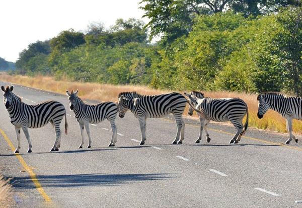 """[视频]非洲斑马排队过马路构成天然""""斑马线"""""""
