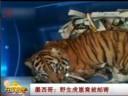 [视频]墨西哥:野生虎崽竟被邮寄