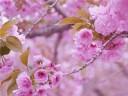 [视频]不用去日本 中国这8个地方的樱花美哭