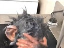 [视频]憨态十足 黑猩猩幼崽洗澡走红网络