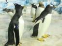 [视频]实拍来自南极的白眉企鹅 身长腿短走起路来摇摇晃晃 萌到犯规