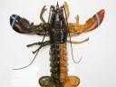 [视频]美国渔民捕获双色龙虾出现概率5000万分之一