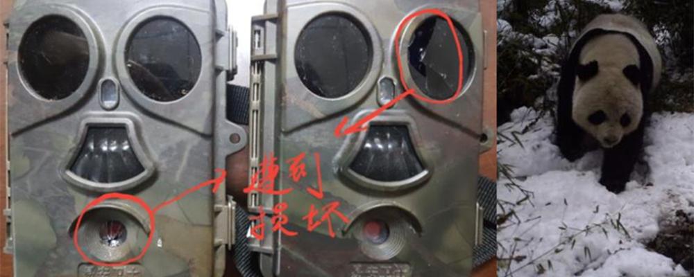 """[视频]九寨沟 """"调皮""""大熊猫 玩坏红外相机"""