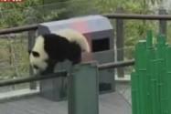 """[视频]女子偷摸熊猫宝宝 称被其主动""""碰瓷"""" 园区:进行整改 请文明游园"""